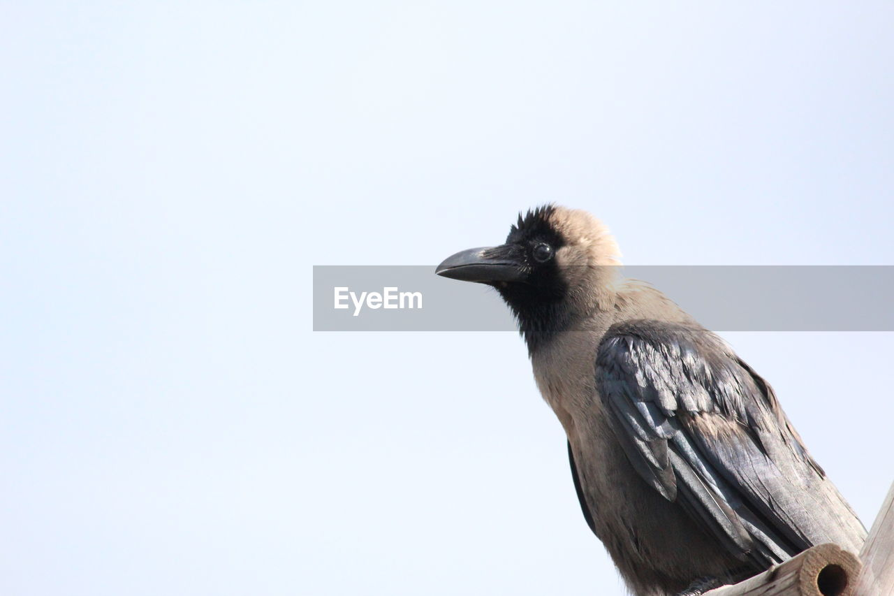 animals in the wild, bird, one animal, animal themes, animal wildlife, perching, no people, day, beak, low angle view, nature, clear sky, outdoors, close-up