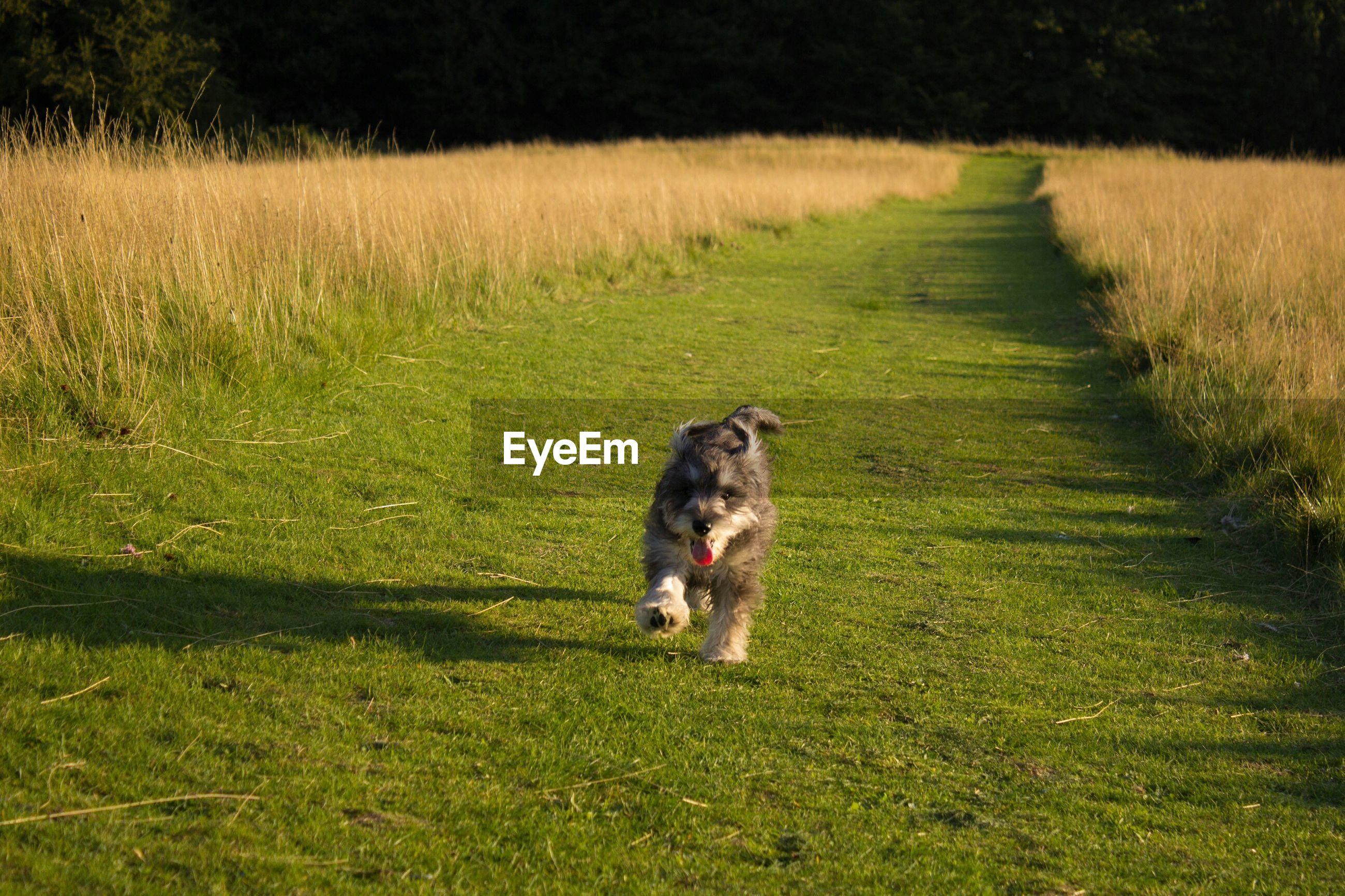 Schnauzer walking on grassy field