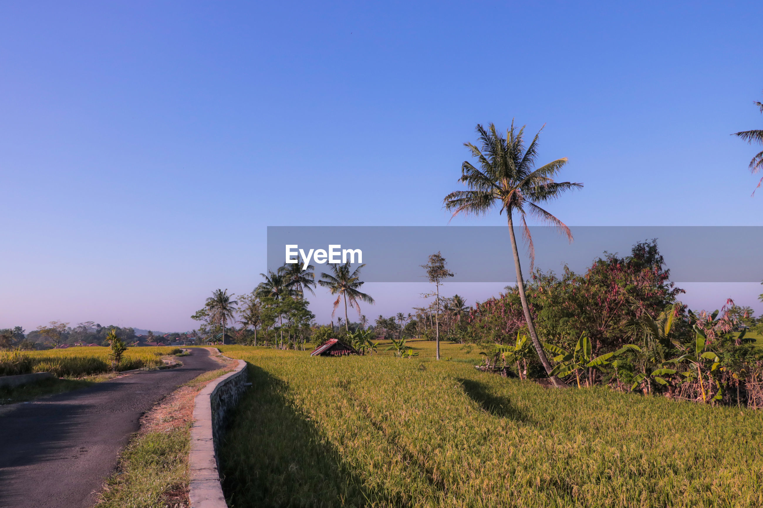 Scenic view of palm trees on field against clear sky