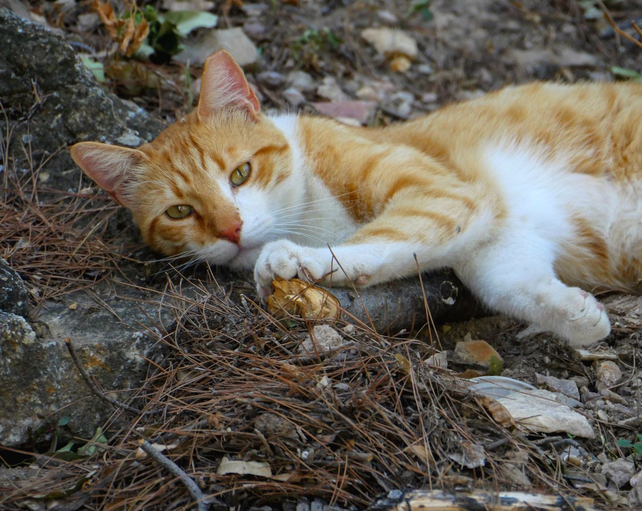 cat, feline, domestic, pets, domestic cat, domestic animals, animal themes, animal, one animal, vertebrate, mammal, relaxation, looking at camera, portrait, no people, day, nature, whisker, field, land, ginger cat, animal head, animal eye