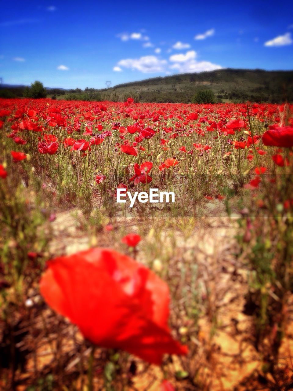 red, poppy, nature, field, growth, beauty in nature, flower, tranquility, plant, rural scene, sky, no people, landscape, agriculture, outdoors, tranquil scene, scenics, day, freshness, fragility, flower head