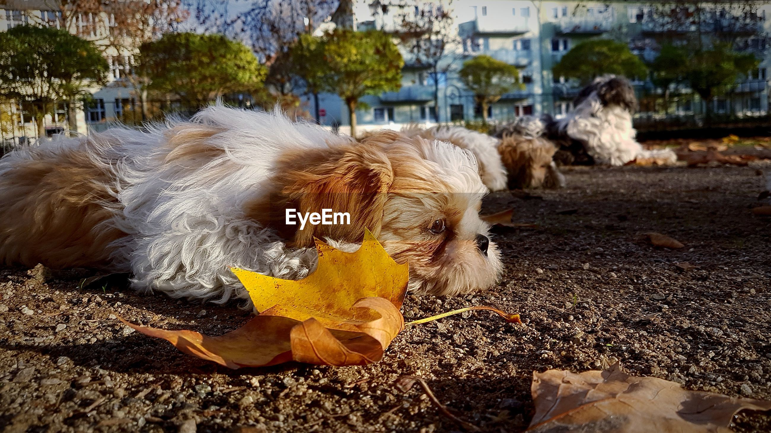Dog lying on footpath during autumn