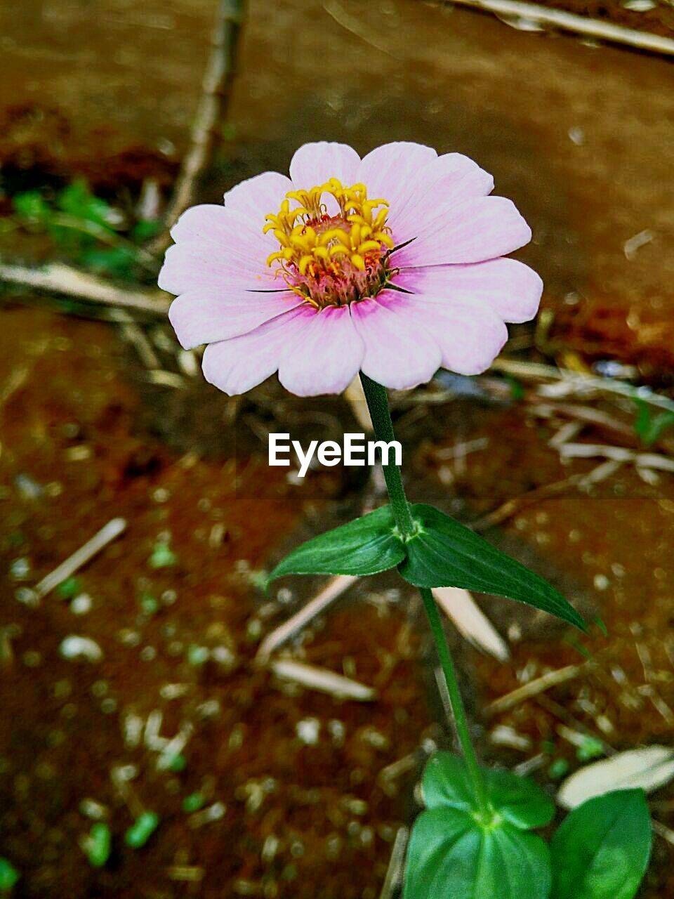 flower, petal, fragility, nature, flower head, beauty in nature, freshness, growth, blooming, leaf, plant, no people, outdoors, day, close-up, zinnia