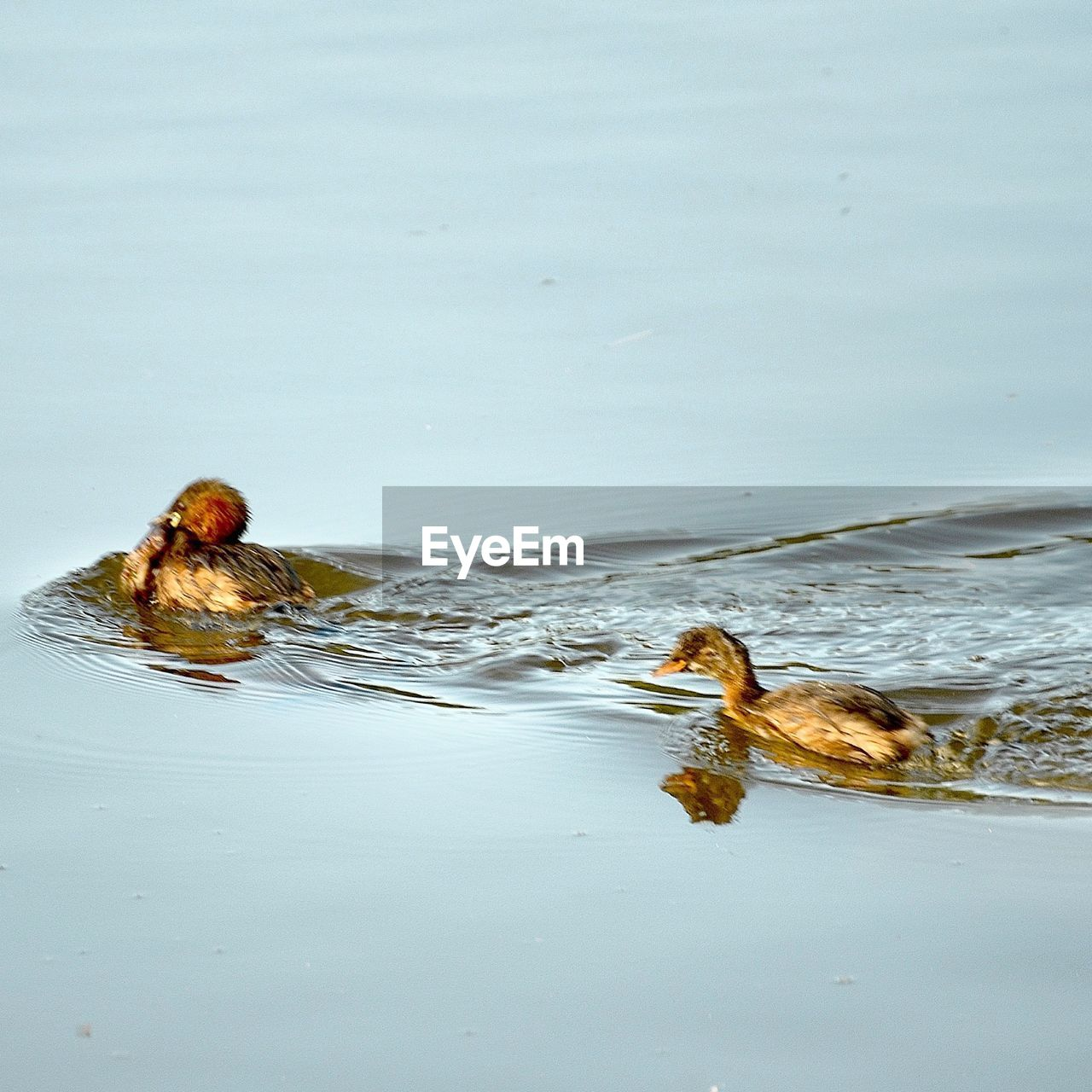 animal themes, animals in the wild, bird, swimming, water, animal wildlife, nature, no people, one animal, day, outdoors, close-up