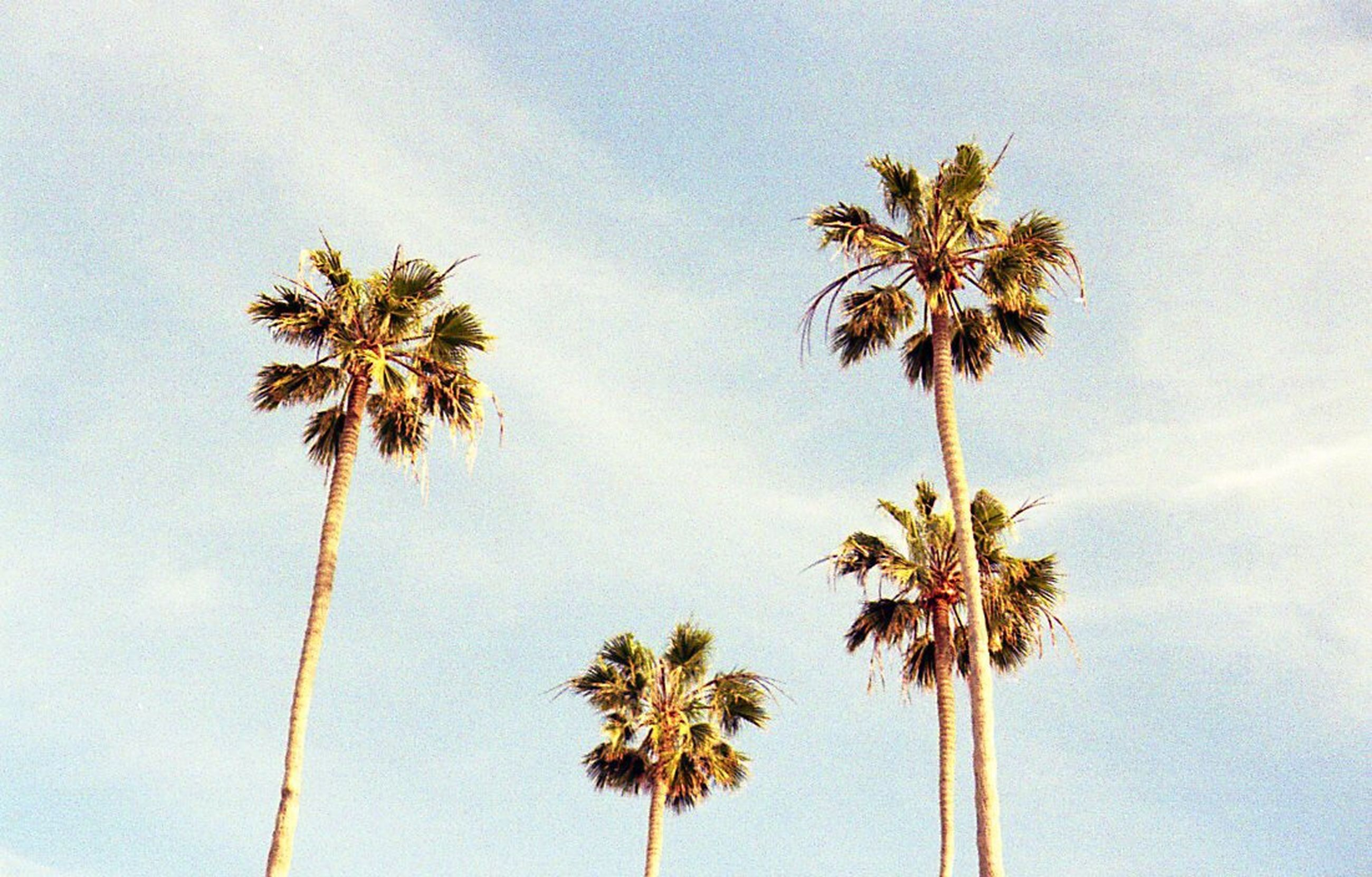 palm tree, tree, low angle view, beauty in nature, tree trunk, sky, nature, day, outdoors, growth, no people, scenics