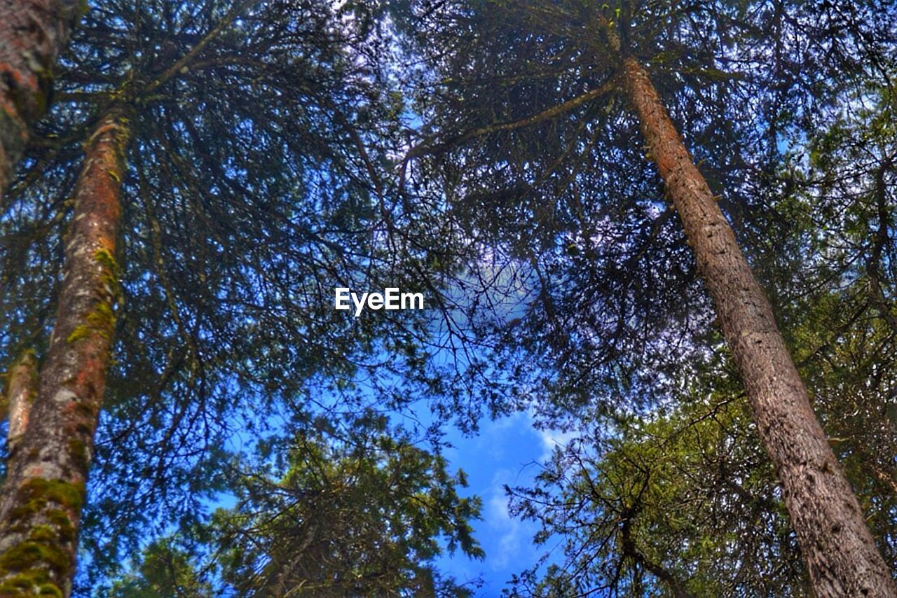 tree, plant, low angle view, growth, sky, beauty in nature, tranquility, day, nature, trunk, tree trunk, no people, blue, branch, tree canopy, outdoors, green color, land, scenics - nature, forest, directly below, coniferous tree