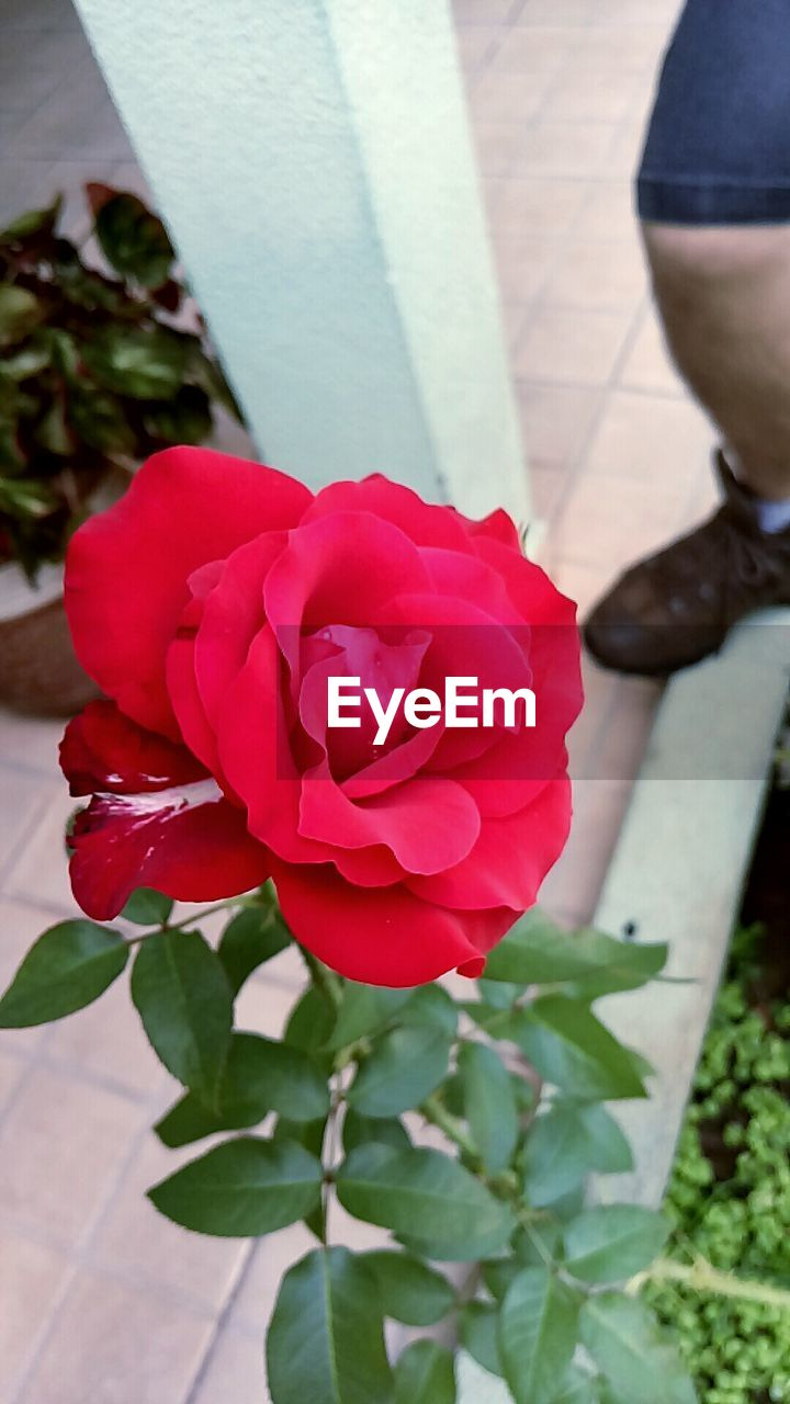 flower, petal, nature, fragility, rose - flower, beauty in nature, freshness, flower head, plant, day, close-up, outdoors, leaf, growth, no people, blooming