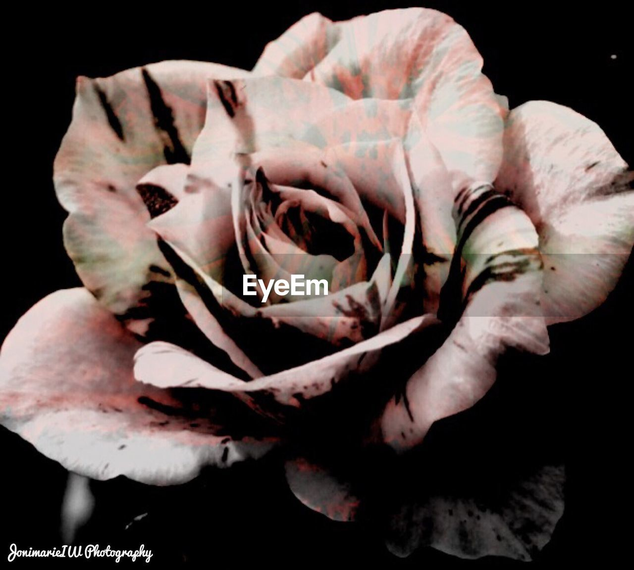 flower, petal, nature, growth, beauty in nature, fragility, black background, flower head, close-up, plant, rose - flower, no people, freshness, studio shot, outdoors, day
