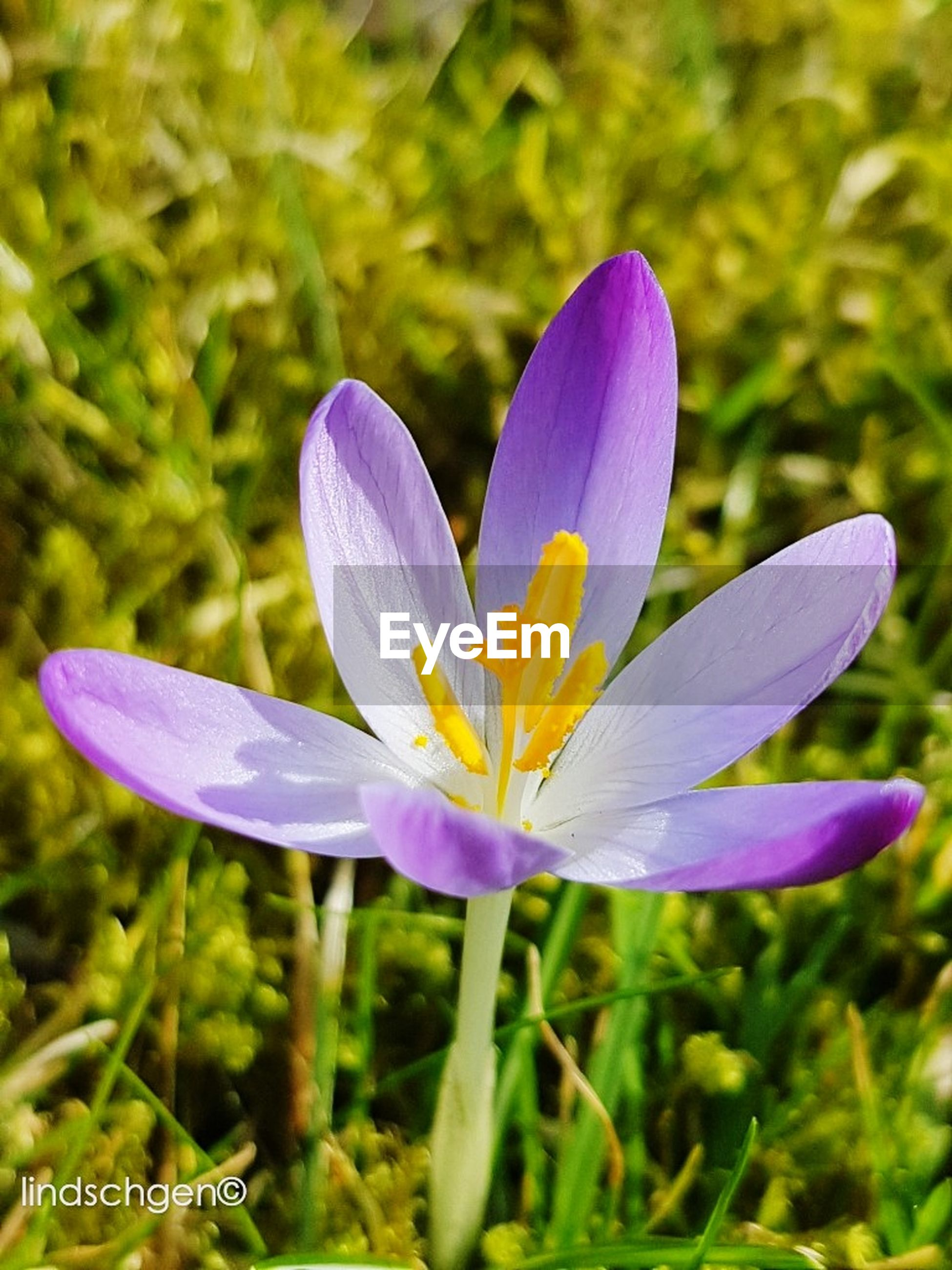 nature, flower, purple, beauty in nature, fragility, petal, flower head, growth, close-up, freshness, plant, no people, blooming, outdoors, day, crocus
