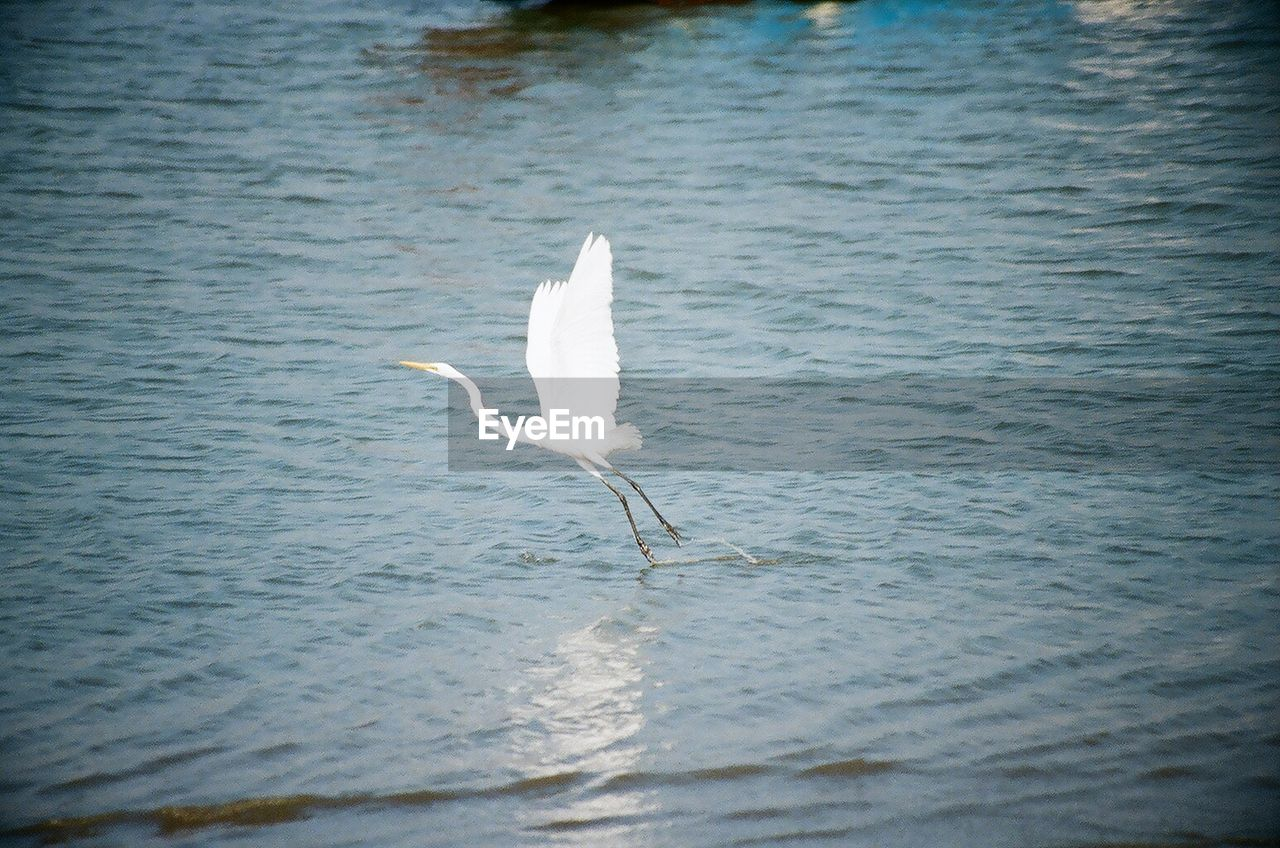 water, one animal, bird, flying, animals in the wild, lake, white color, animal themes, great egret, nature, waterfront, no people, spread wings, day, swan, outdoors