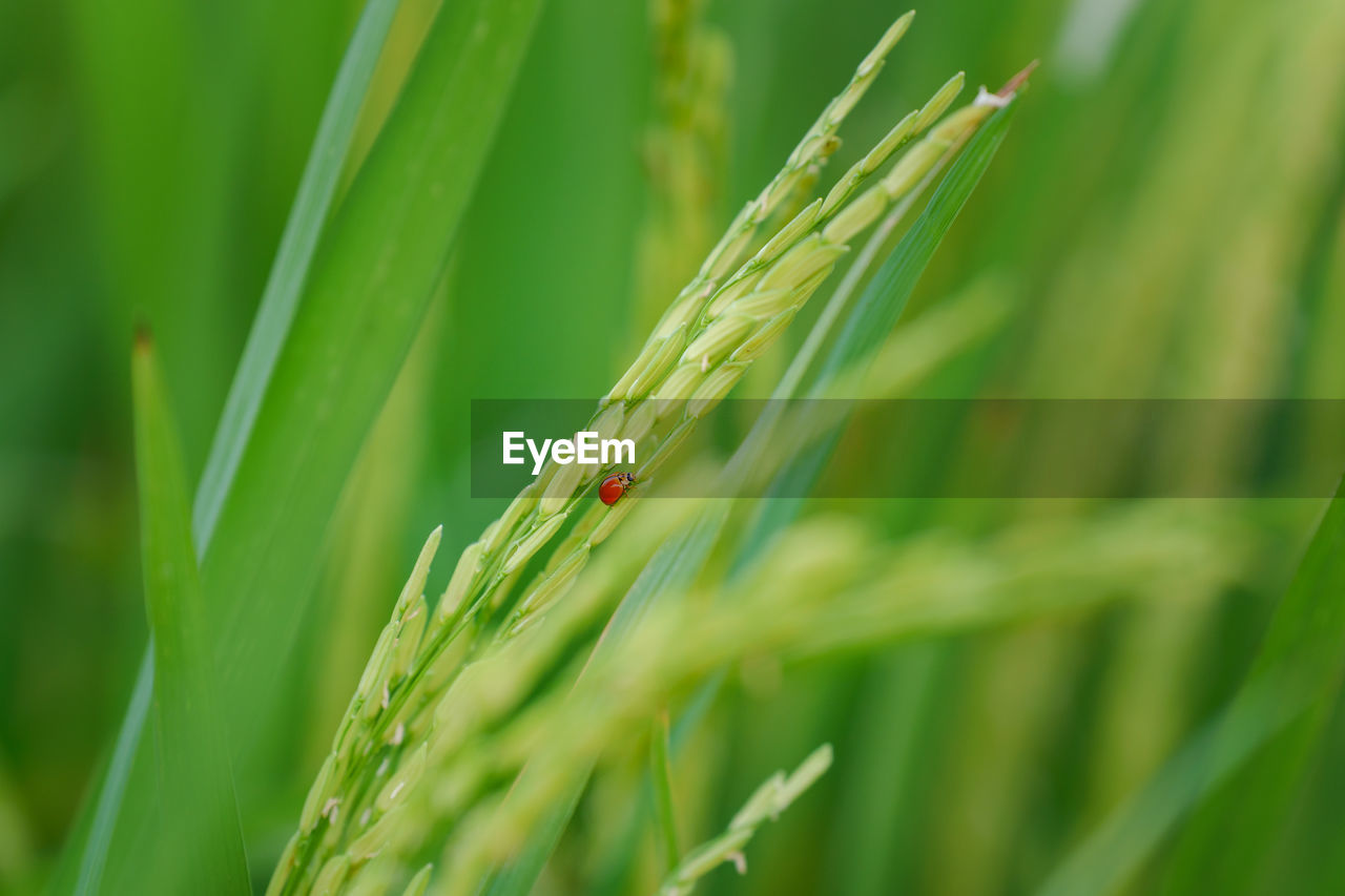 CLOSE-UP OF WHEAT ON PLANT