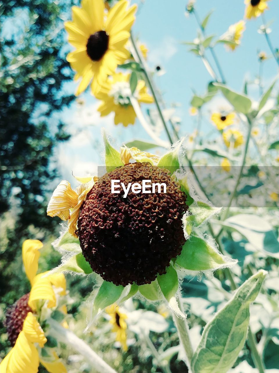 freshness, flower, flowering plant, plant, growth, flower head, fragility, vulnerability, inflorescence, close-up, beauty in nature, yellow, petal, nature, sunflower, focus on foreground, no people, day, pollen, outdoors, springtime, pollination