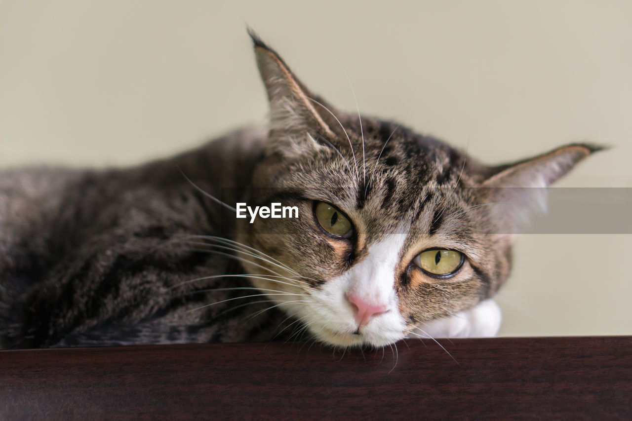 cat, feline, domestic cat, pets, domestic, domestic animals, mammal, animal themes, animal, one animal, vertebrate, close-up, no people, indoors, whisker, portrait, looking at camera, relaxation, animal body part, focus on foreground, animal head, animal eye, tabby