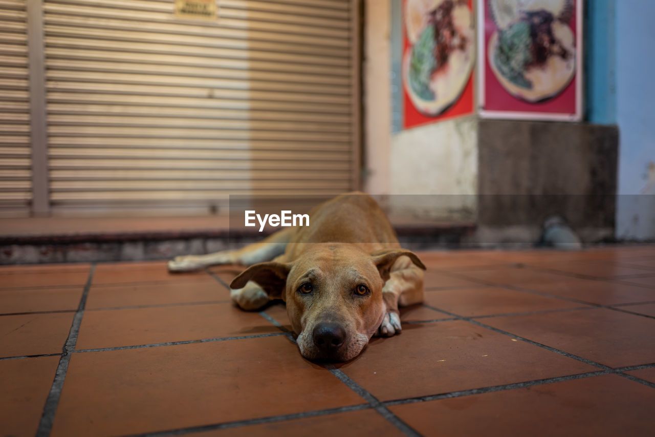 pets, dog, canine, domestic, domestic animals, one animal, animal themes, mammal, animal, relaxation, vertebrate, resting, flooring, lying down, no people, portrait, focus on foreground, indoors, day, home interior, tiled floor