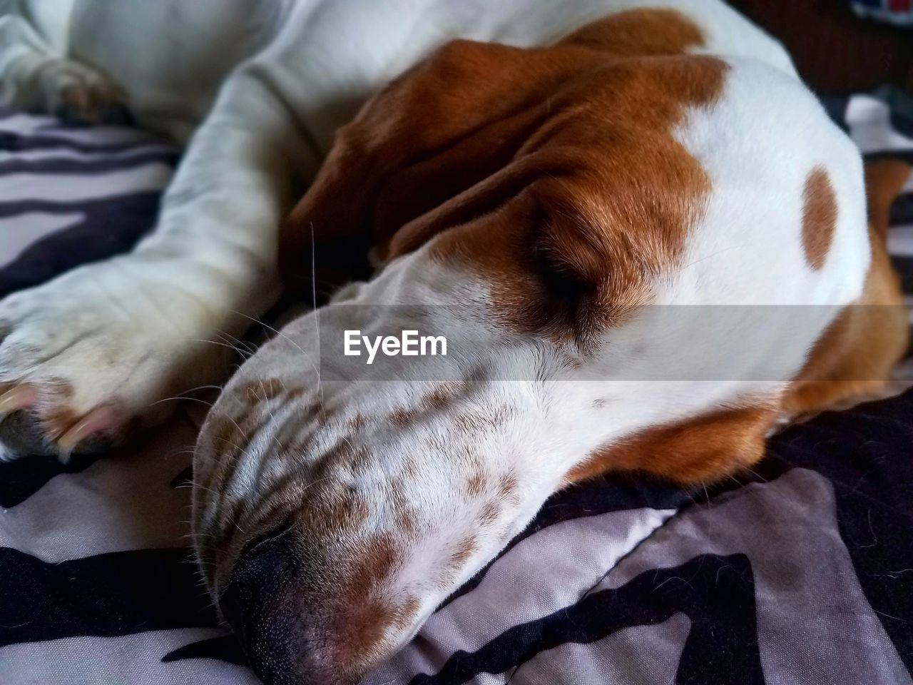 pets, domestic animals, mammal, dog, one animal, animal themes, indoors, relaxation, close-up, no people, lying down, sleeping, day