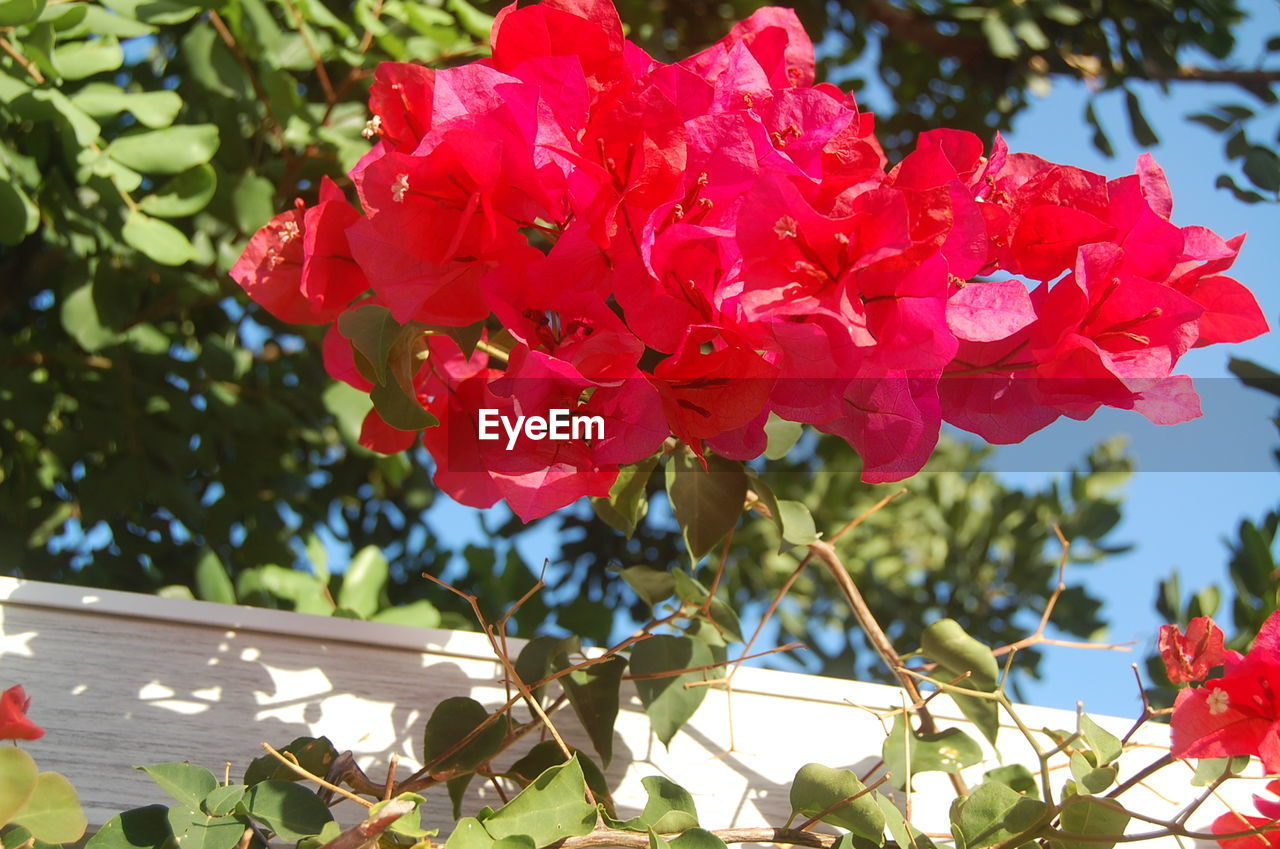 flower, growth, petal, beauty in nature, nature, fragility, red, day, freshness, tree, focus on foreground, outdoors, no people, leaf, low angle view, plant, close-up, blooming, flower head, branch
