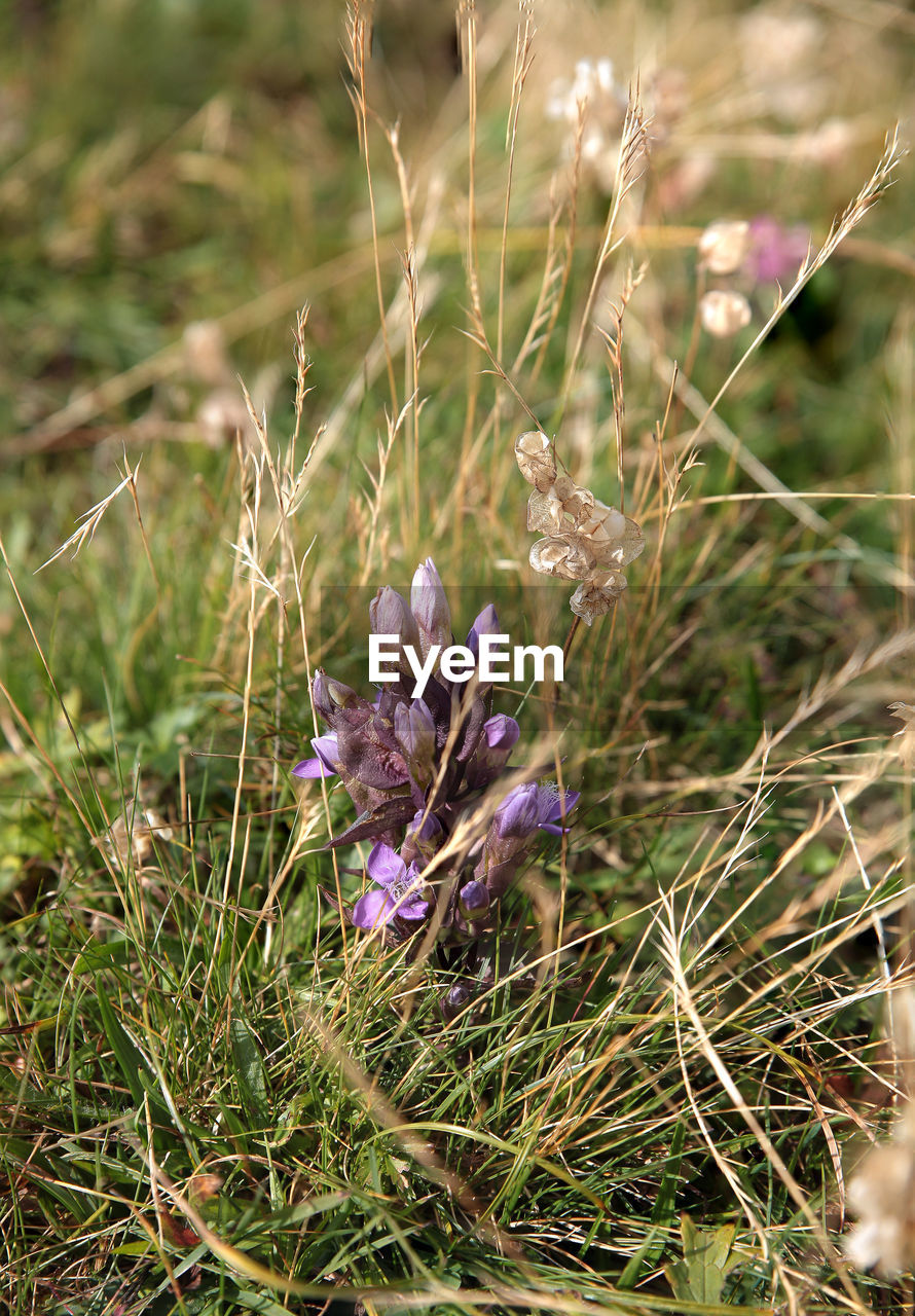 flower, growth, nature, plant, purple, field, beauty in nature, grass, no people, outdoors, fragility, day, freshness, close-up, flower head