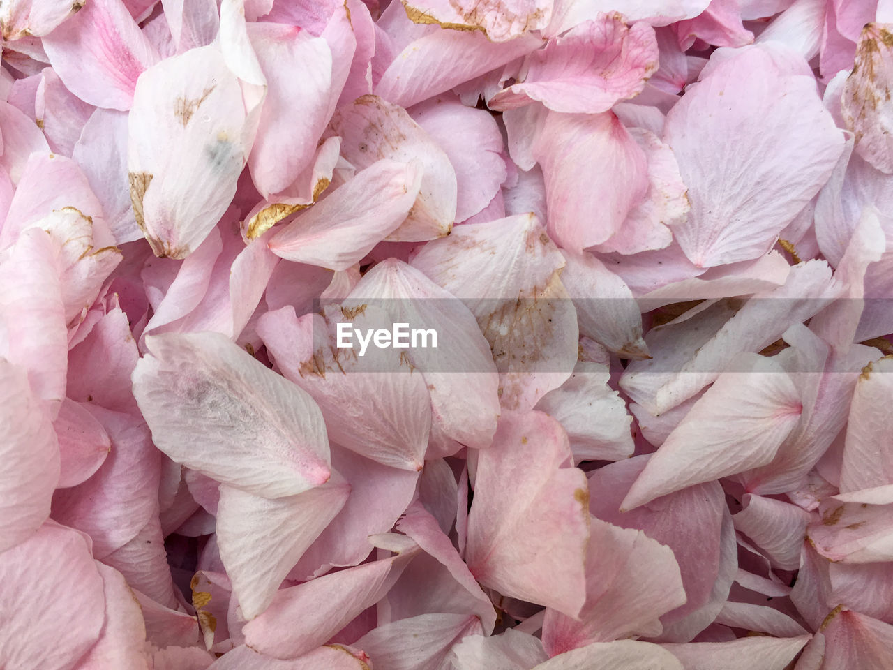 backgrounds, full frame, pink color, freshness, flower, flowering plant, beauty in nature, fragility, petal, close-up, vulnerability, no people, plant, flower head, inflorescence, abundance, nature, day, large group of objects, botany, softness