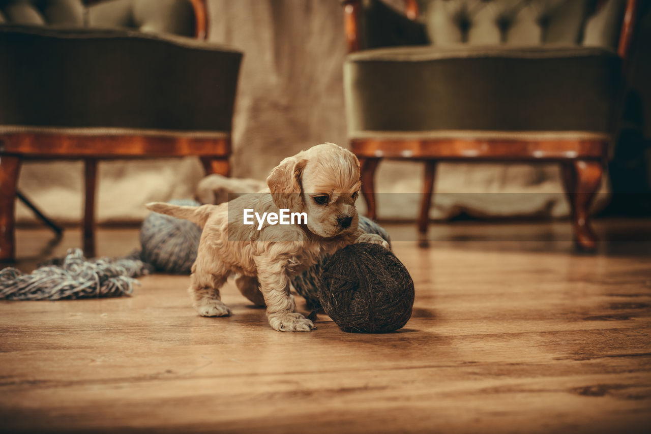 domestic, pets, domestic animals, one animal, mammal, dog, animal themes, canine, animal, flooring, indoors, vertebrate, relaxation, hardwood floor, sitting, seat, no people, home interior, young animal, chair, wood, small, animal head