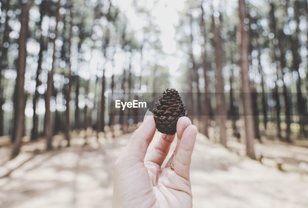 Close-up of hand holding pine cone on tree