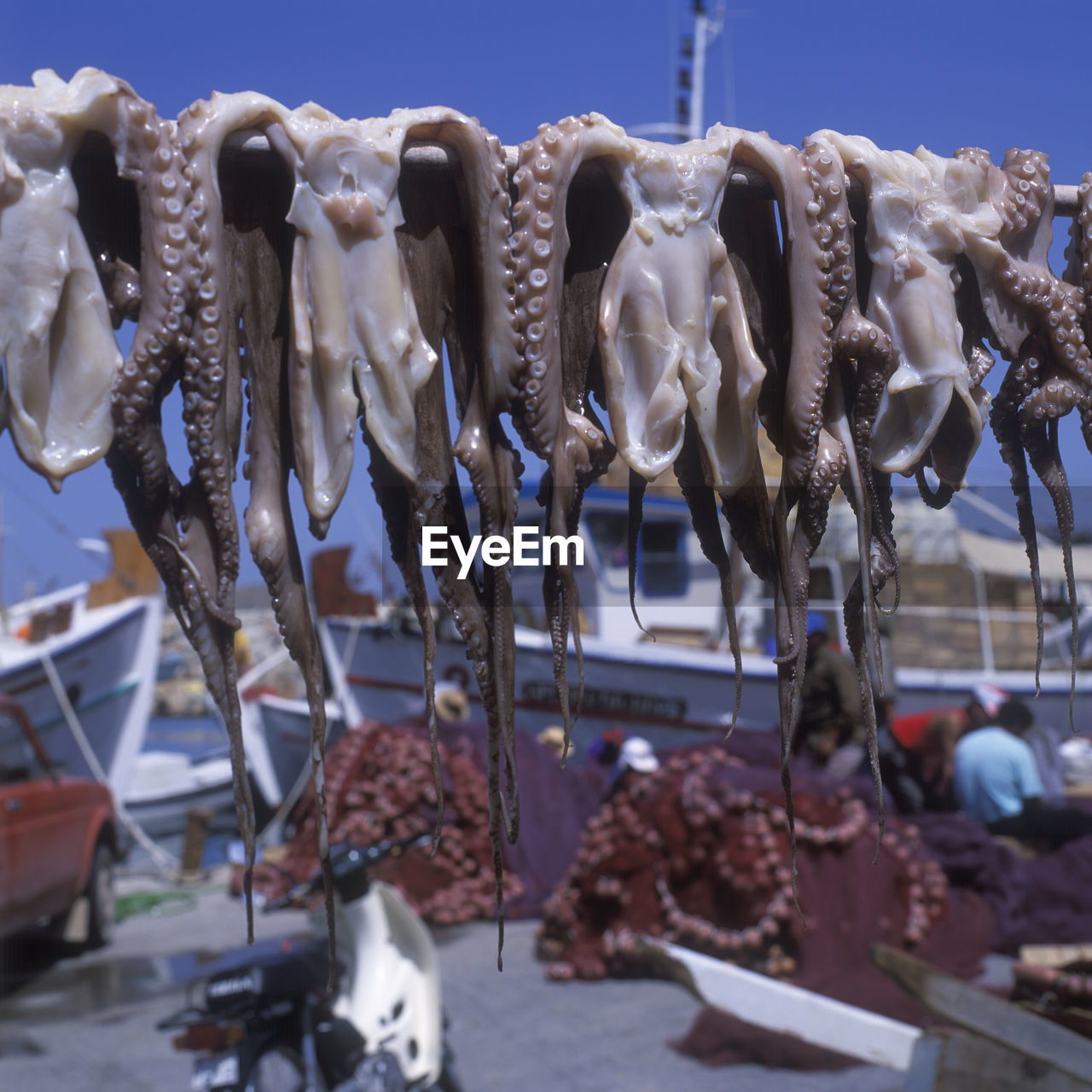 Dead Octopuses Hanging From Rod At Harbor