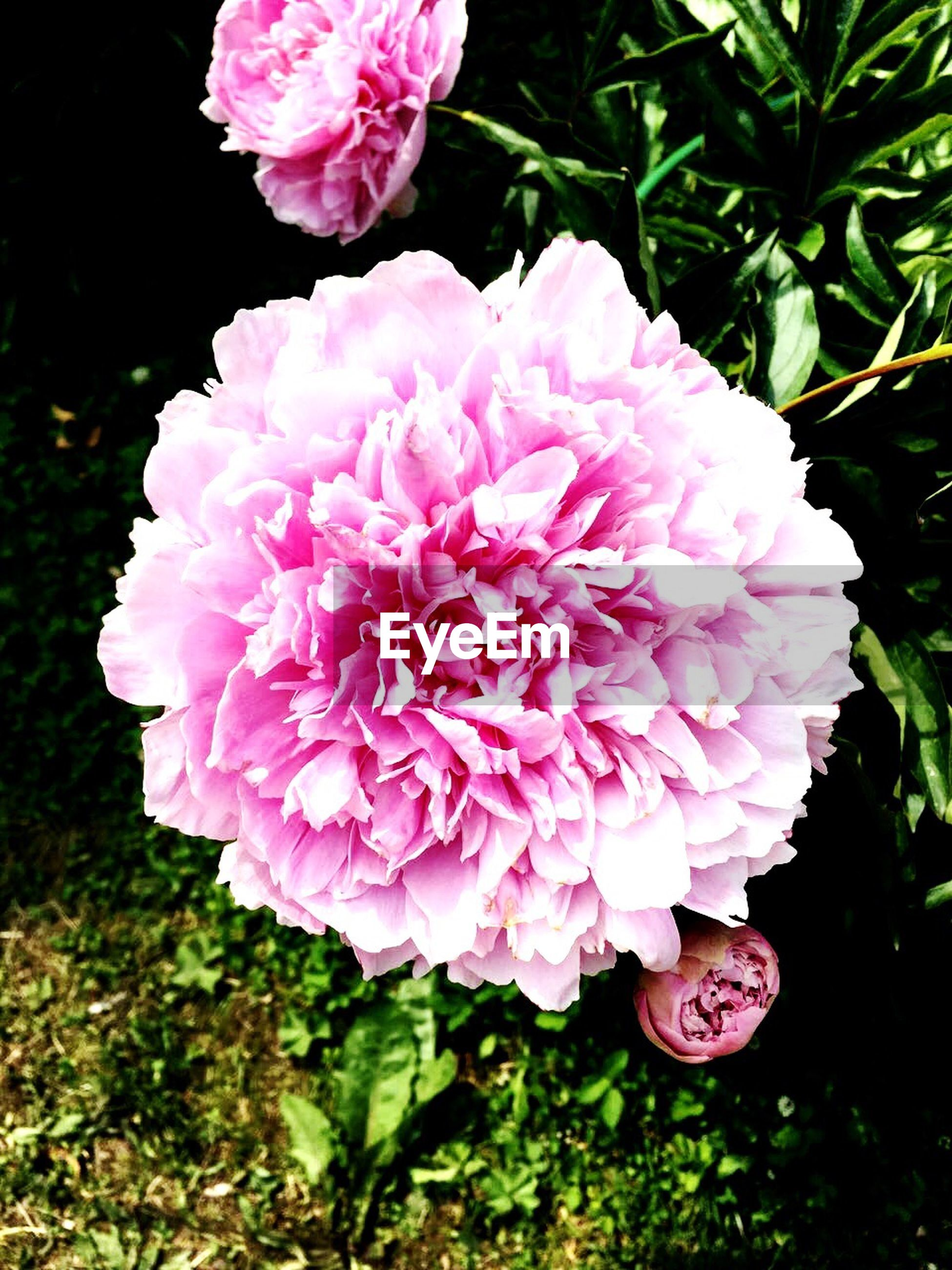 flower, petal, freshness, fragility, flower head, pink color, growth, beauty in nature, close-up, blooming, nature, plant, in bloom, high angle view, pink, park - man made space, focus on foreground, blossom, no people, outdoors