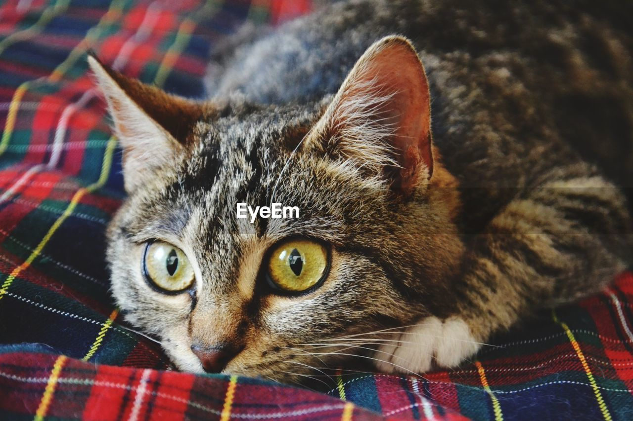 cat, domestic cat, feline, domestic, mammal, pets, domestic animals, animal themes, animal, one animal, vertebrate, portrait, looking at camera, whisker, indoors, relaxation, lying down, no people, furniture, close-up, animal head, tabby, animal eye