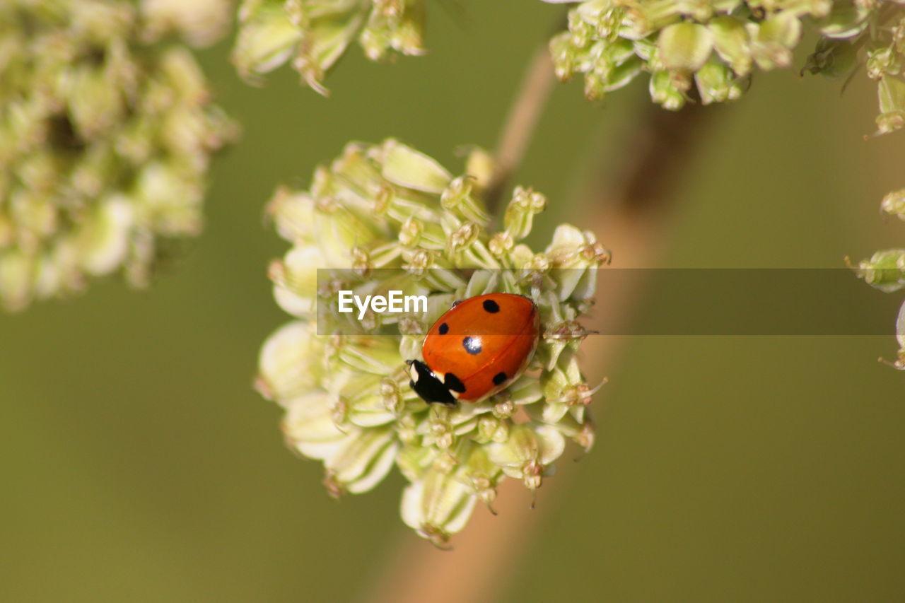 Directly above shot of ladybug on white flower