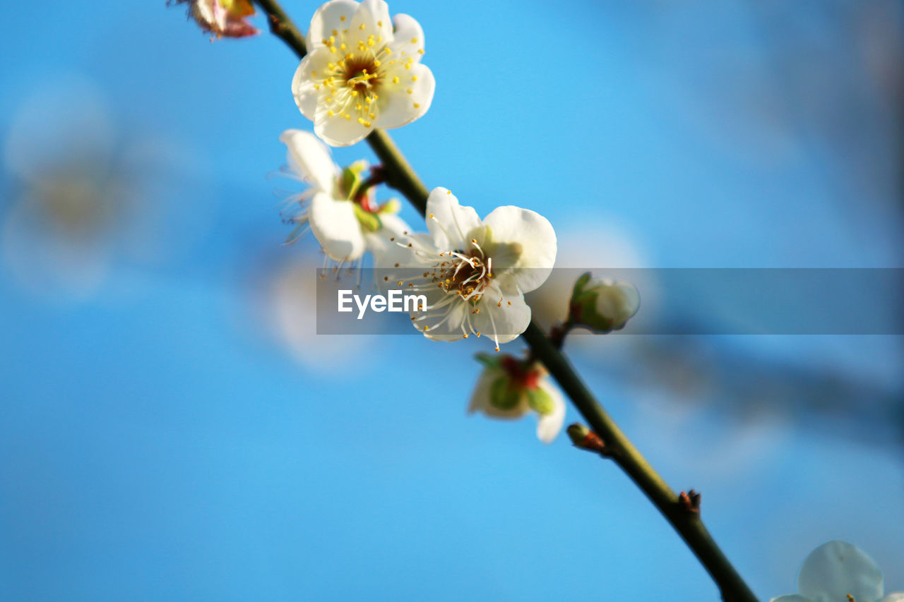 flower, flowering plant, plant, fragility, vulnerability, growth, beauty in nature, freshness, close-up, petal, springtime, flower head, nature, inflorescence, blossom, focus on foreground, white color, no people, tree, selective focus, pollen, outdoors, plum blossom, cherry blossom, cherry tree, spring