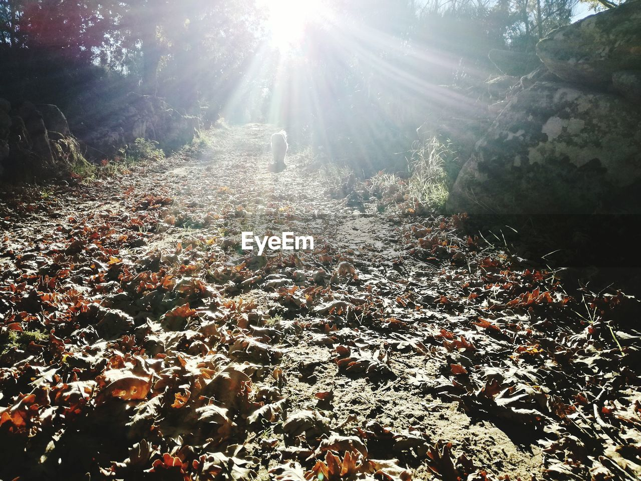 lens flare, sunbeam, sunlight, nature, forest, tree, day, tranquility, growth, outdoors, abundance, sun, no people, beauty in nature