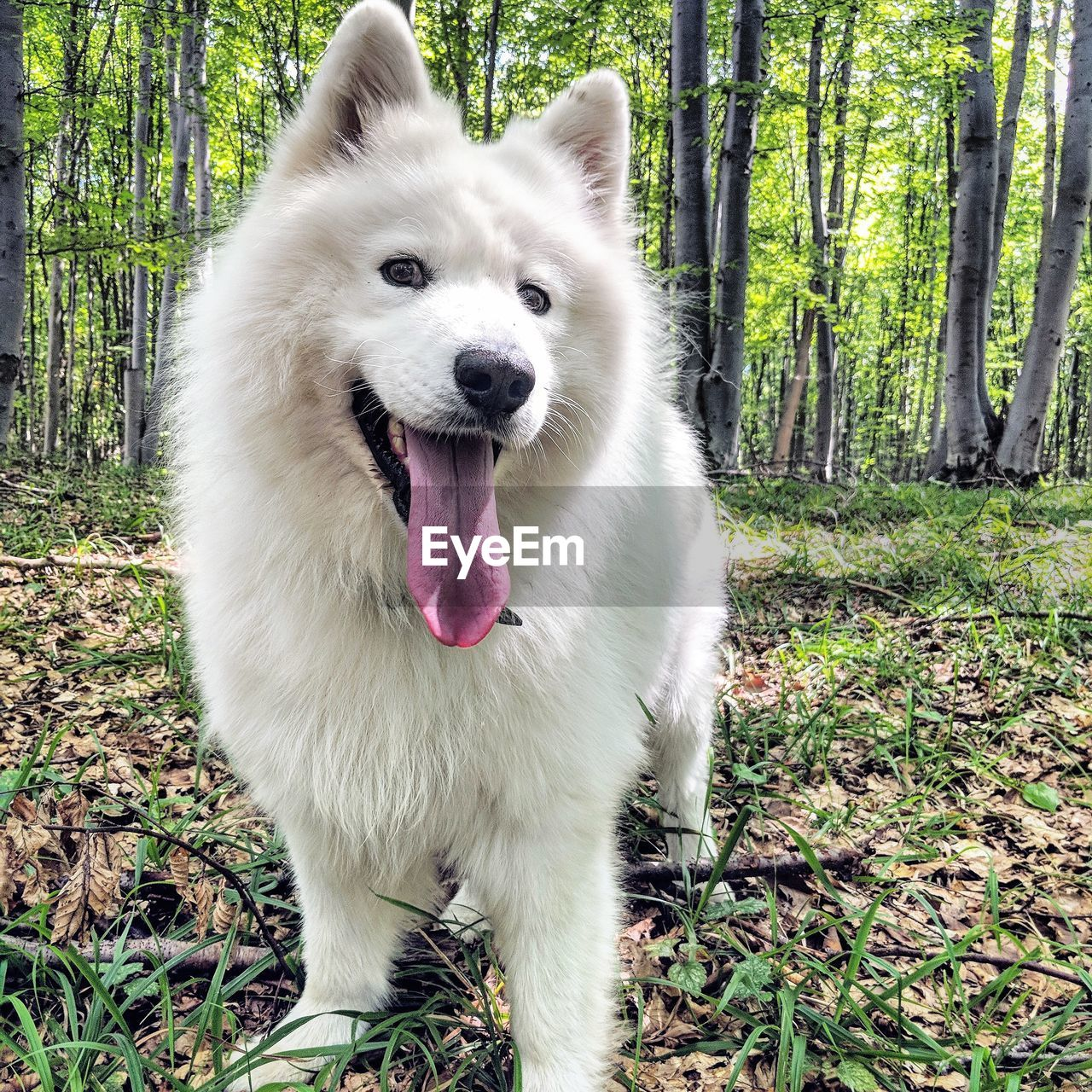 one animal, canine, mammal, dog, pets, animal themes, domestic, domestic animals, animal, land, vertebrate, plant, tree, forest, day, nature, field, white color, portrait, mouth, mouth open, no people, outdoors, animal tongue