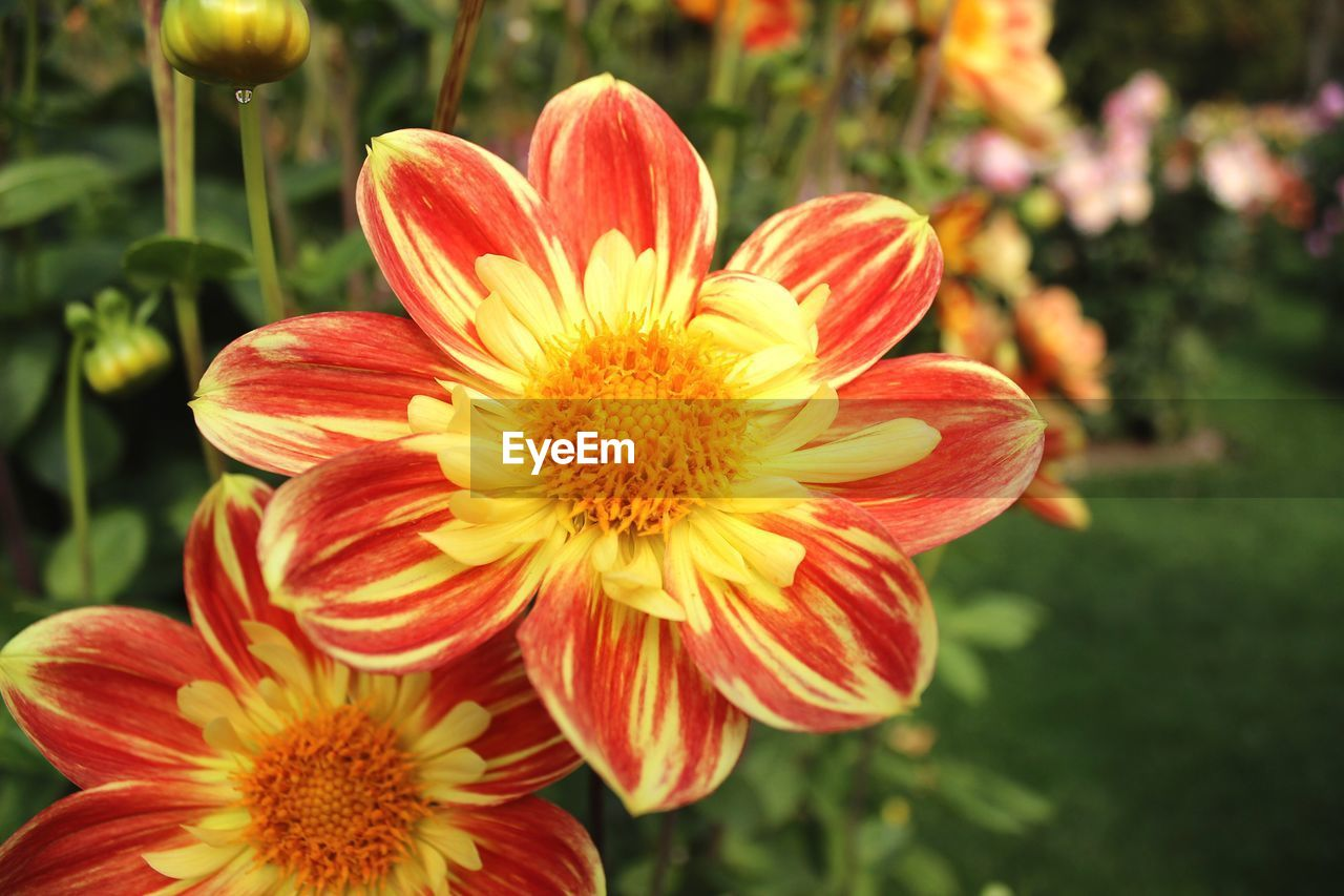 flower, petal, flower head, fragility, freshness, beauty in nature, nature, growth, plant, focus on foreground, blooming, no people, pollen, close-up, red, outdoors, day, yellow, day lily
