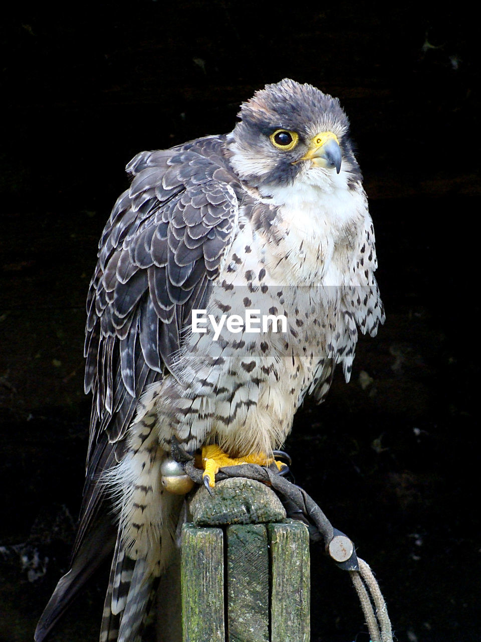 animal, animal themes, animal wildlife, one animal, vertebrate, animals in the wild, bird of prey, bird, close-up, perching, day, no people, eagle, focus on foreground, nature, eagle - bird, outdoors, wood - material, looking, looking away, falcon - bird