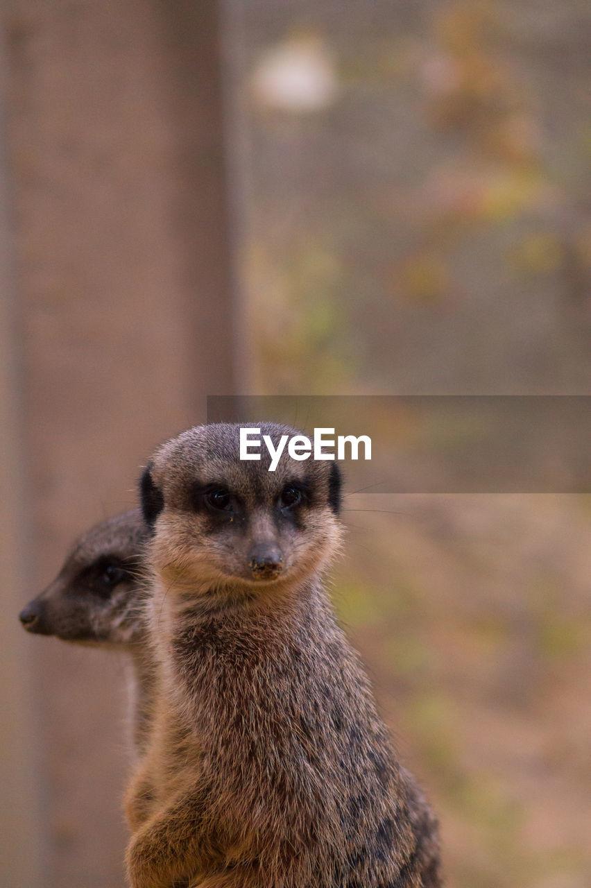 Meerkats Looking Away In Forest