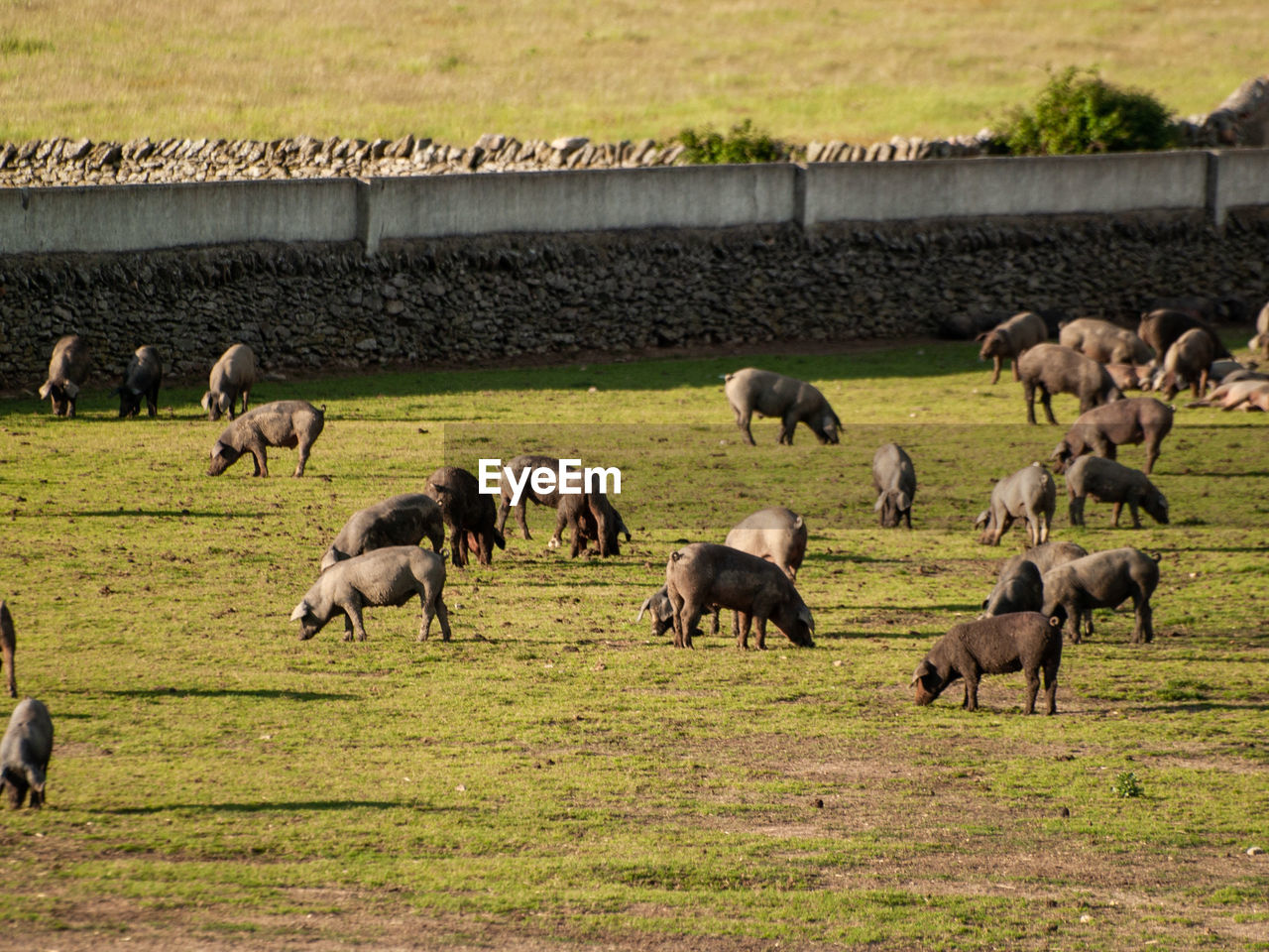 animal, animal themes, group of animals, mammal, large group of animals, grass, animals in the wild, animal wildlife, field, day, livestock, domestic animals, plant, land, nature, no people, agriculture, vertebrate, grazing, herd, outdoors, herbivorous