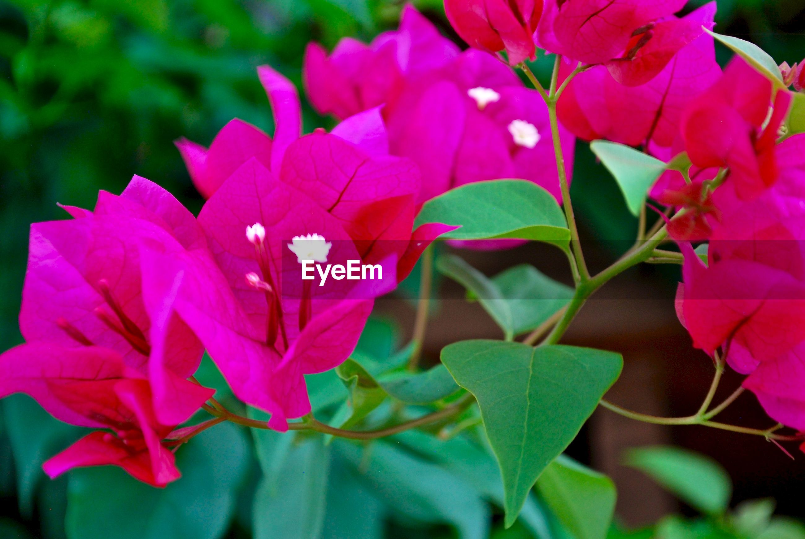 CLOSE-UP OF PINK FLOWERS BLOOMING
