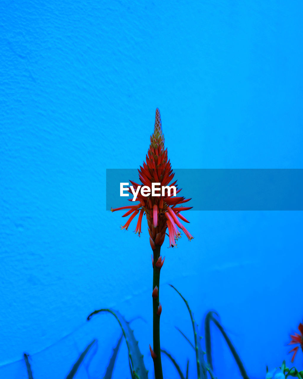 blue, red, growth, beauty in nature, nature, no people, flower, outdoors, day, close-up, fragility, freshness