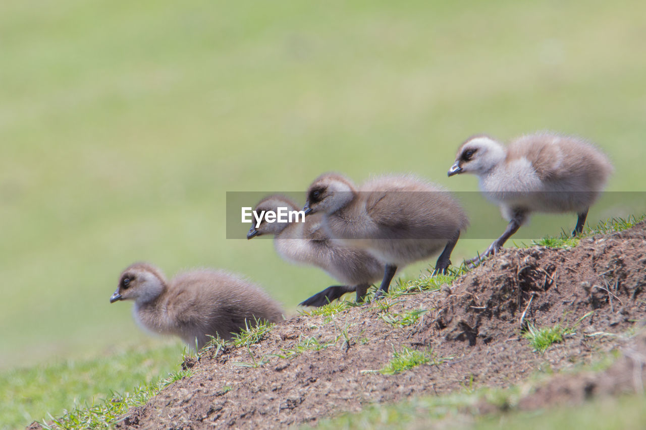 Close-up of ducklings perching on grass