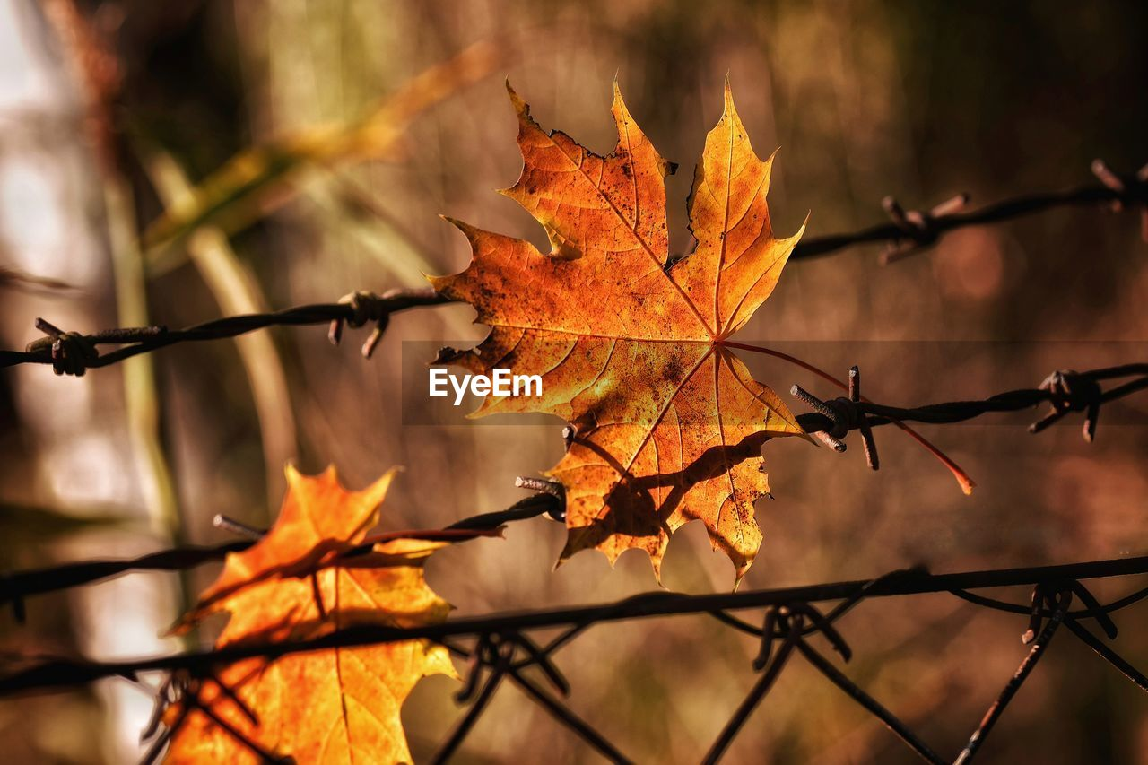 Close-Up Of Maple Leaves On Barbed Wire During Autumn