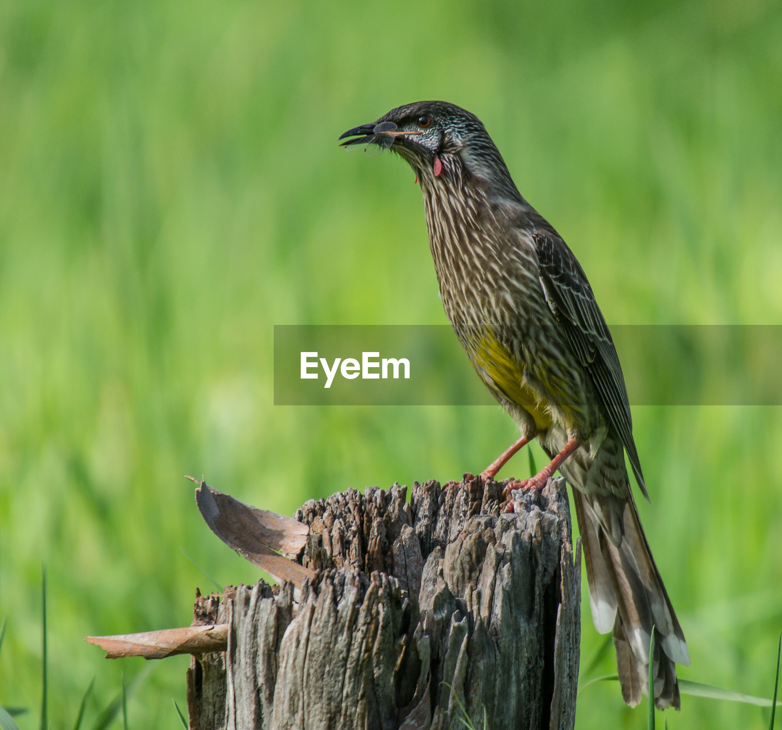 Wattlebird with prey in beak perching on weathered wooden post