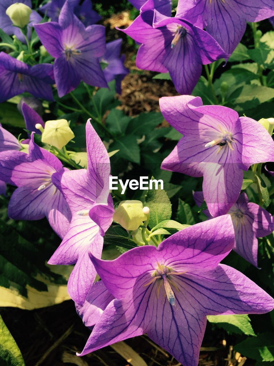 flower, purple, petal, growth, fragility, beauty in nature, freshness, day, flower head, nature, outdoors, no people, close-up, blooming, petunia, periwinkle