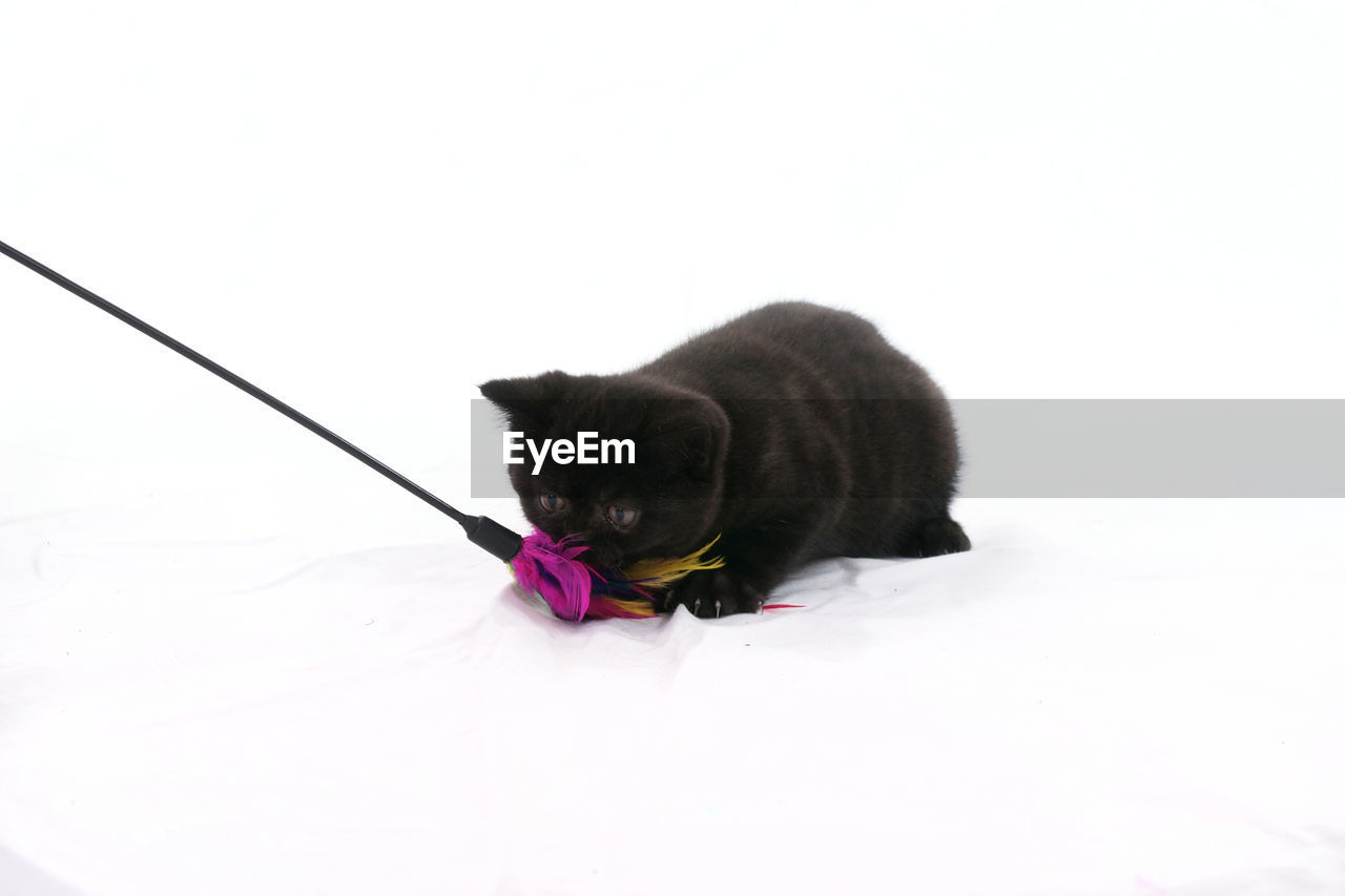 Black Cat And Toy Against White Background