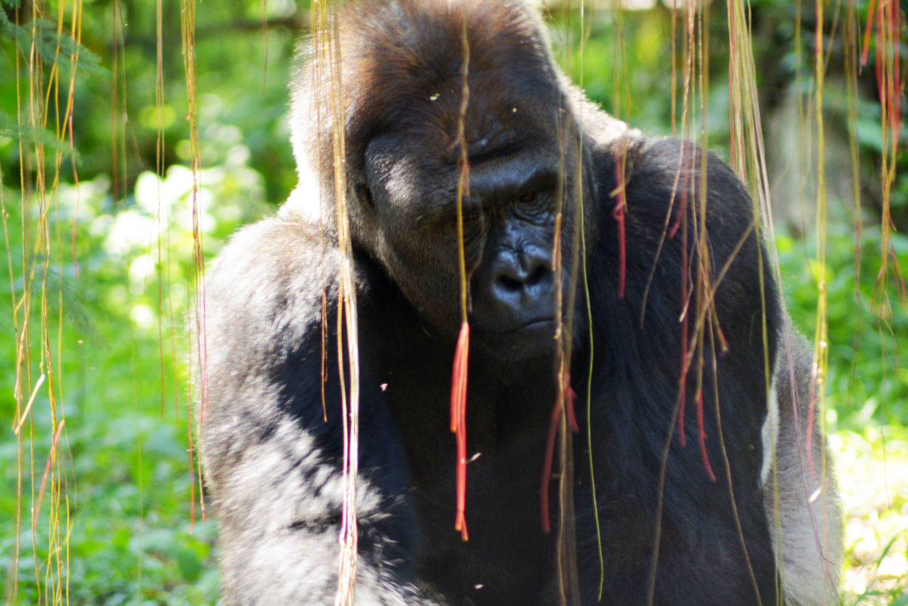 Close-up of gorilla in the wild