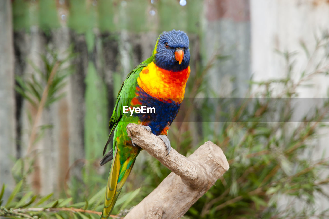 vertebrate, animal themes, animal, parrot, animals in the wild, animal wildlife, one animal, perching, multi colored, focus on foreground, bird, day, rainbow lorikeet, branch, tree, plant, no people, nature, outdoors, close-up