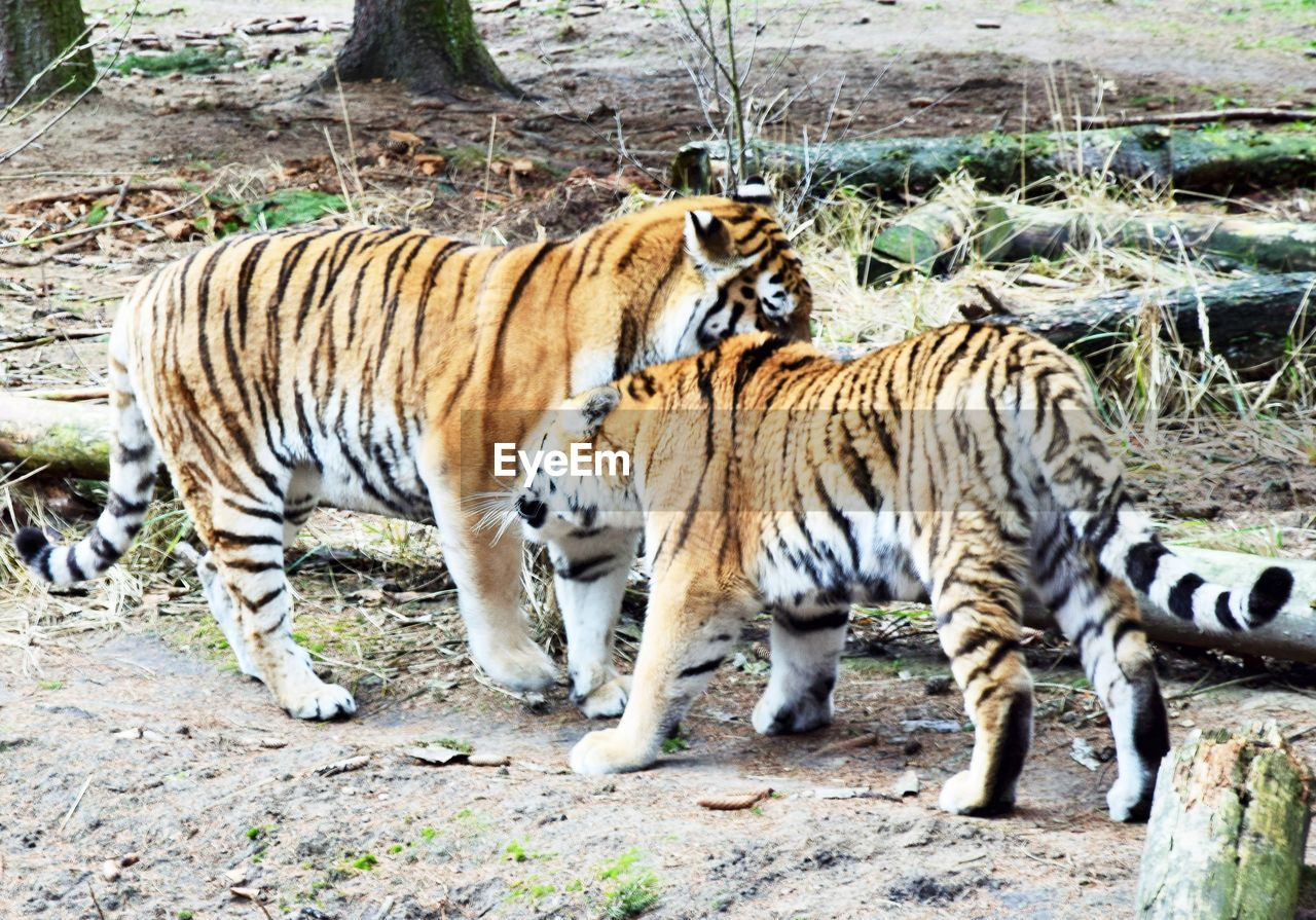 animal themes, animal, tiger, mammal, feline, animal wildlife, big cat, animals in the wild, cat, land, group of animals, day, no people, nature, vertebrate, field, carnivora, two animals, animal markings, outdoors, zoo, whisker