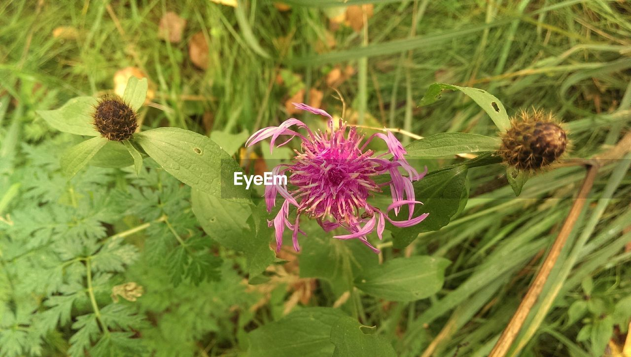 flower, growth, nature, fragility, plant, beauty in nature, green color, freshness, purple, petal, no people, flower head, blooming, outdoors, pink color, day, close-up, thistle, eastern purple coneflower