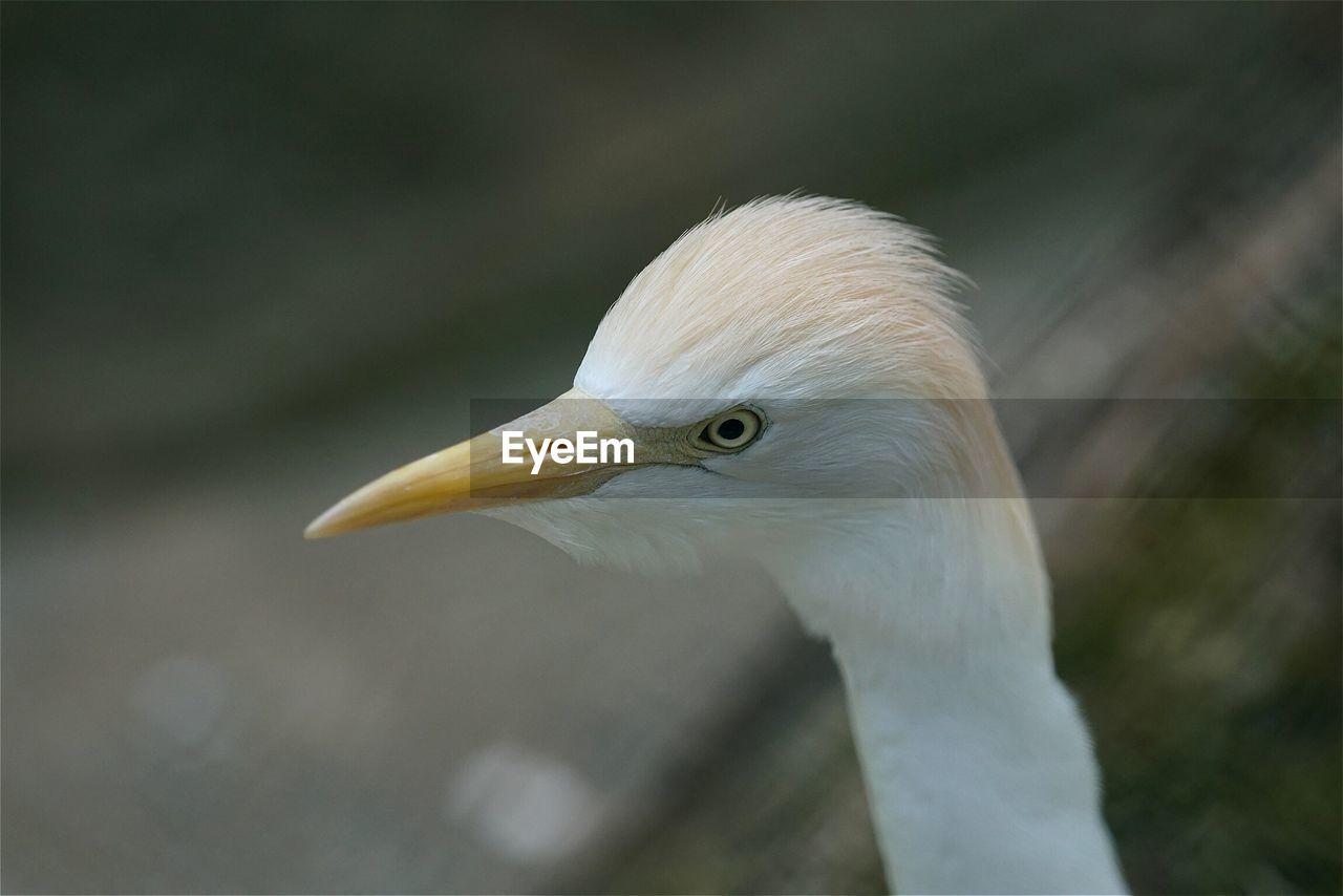 Close-Up Of Egret