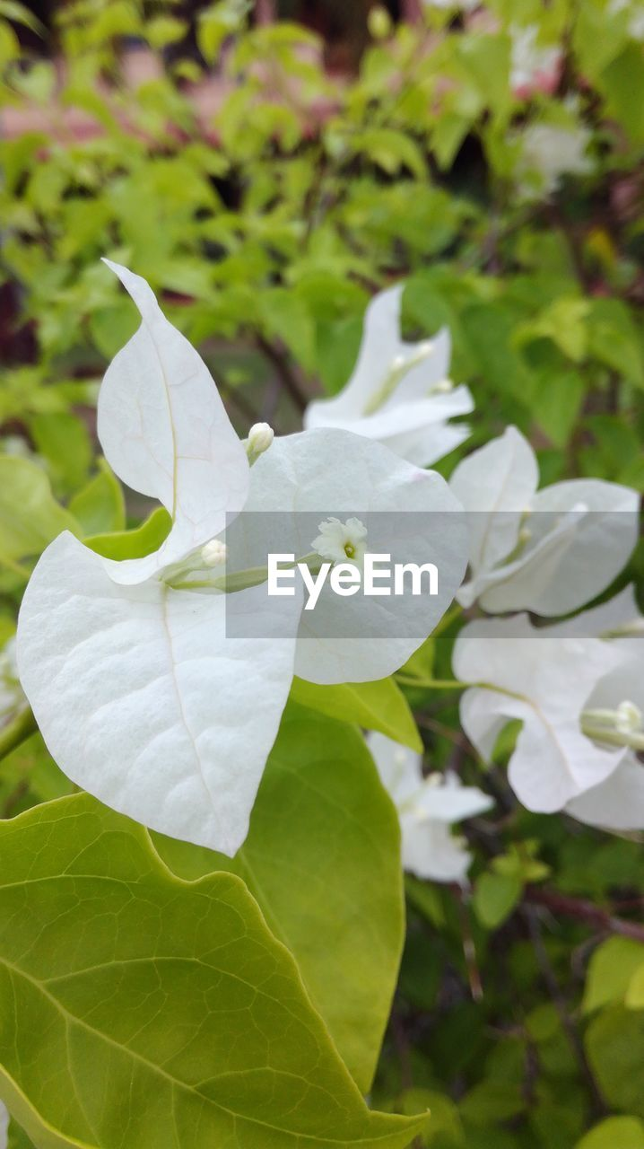 white color, flower, petal, leaf, beauty in nature, nature, close-up, growth, plant, day, no people, outdoors, fragility, flower head, freshness