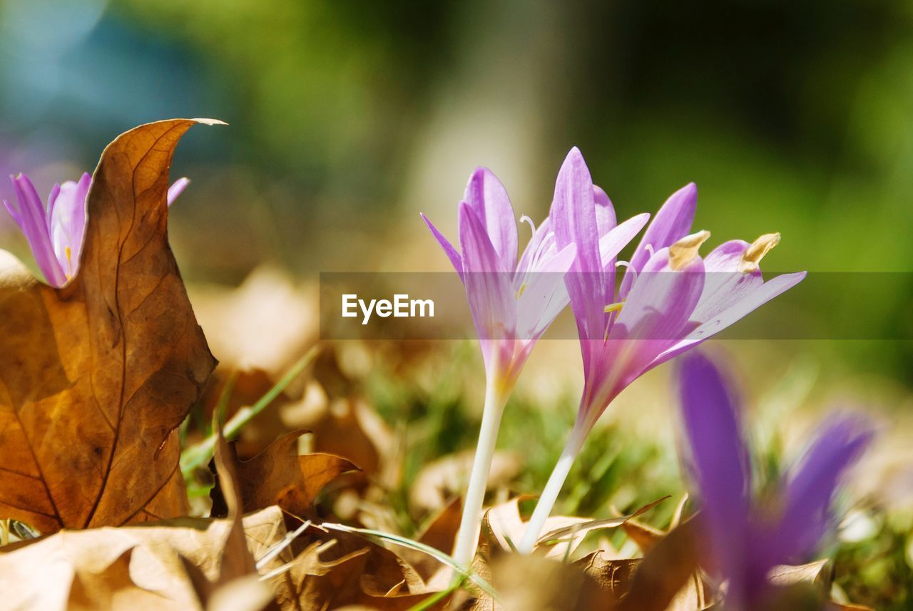 flowering plant, flower, vulnerability, fragility, beauty in nature, plant, freshness, petal, close-up, growth, leaf, nature, selective focus, plant part, purple, flower head, inflorescence, land, no people, day, crocus, iris, outdoors, leaves