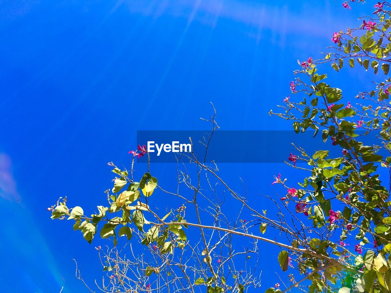 blue, growth, low angle view, flower, nature, tree, beauty in nature, no people, branch, fragility, day, clear sky, outdoors, sunlight, freshness, sky, sunshine, blooming, close-up